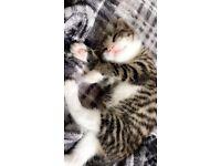 A 2 lovely male kittens