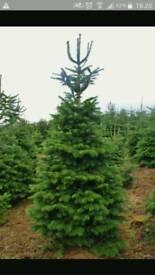 """Christmas trees """"nordmann fir"""""""