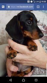 Gorgeous KC registered Dachshund puppy