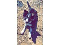 Beautiful collie dog
