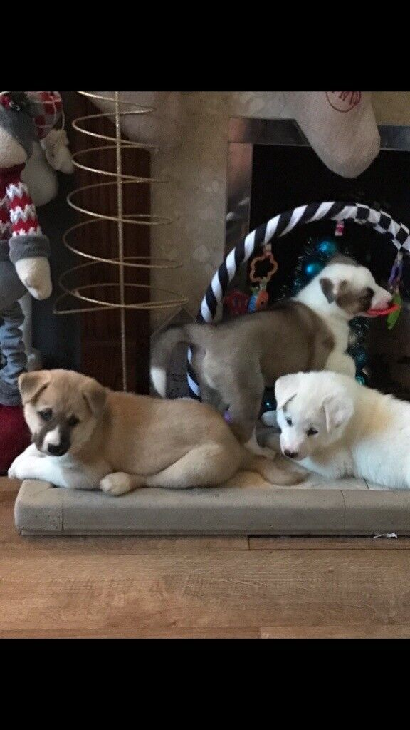 Huskita Puppies For Sale In Spalding Lincolnshire Gumtree