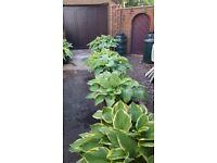 Large hosta plants