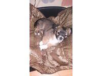 Chihuahua long coat male puppy