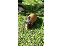 Two Male Guinea Pigs And Cage for sale