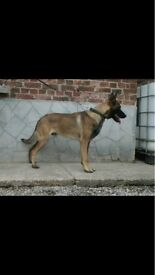 European dutch shepherds available now