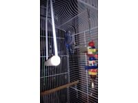 Budgie with large cage and accessories