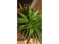 Aloe Vera house plant - lots of shoots - see picture