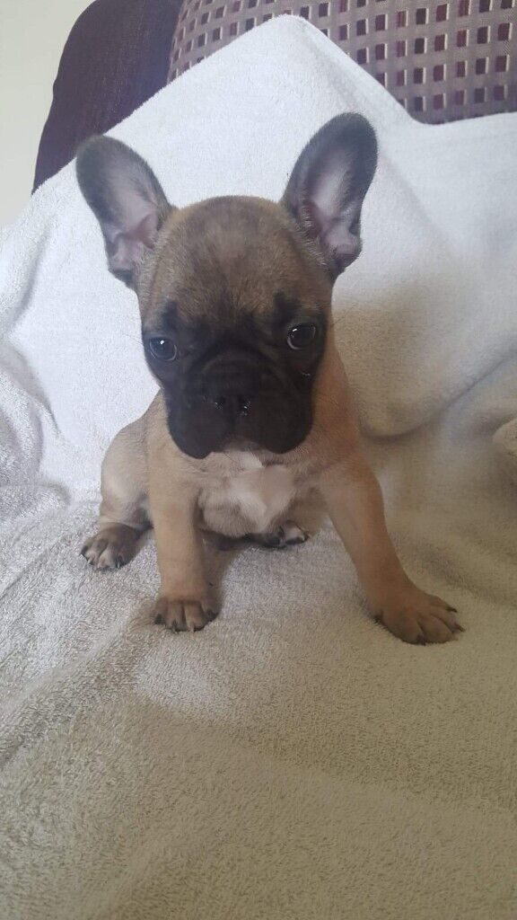 French Bulldog Puppies For Sale | in Strabane, County Tyrone | Gumtree