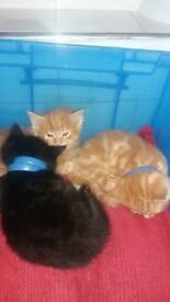 Persian gingers kittens