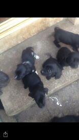 Full bred springer spaniel (F) and pups for sale