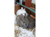 4 lionhead baby rabbits