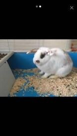 French Lops with cage and food