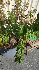 Multi Grafted Tree - Red plum, Yellow plum, nectarine and peach Caversham Swan Area Preview