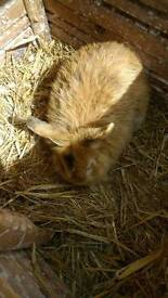 Rescue 12 month old male rabbit
