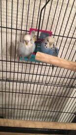 2 budgies for sale with cage !