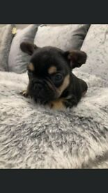 French bulldog Platinum boy and tri coloured boy available