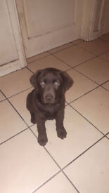 Chocolate labrador female looking for a good home