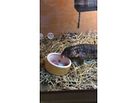 Tegu ( red tegu 2 1/2 yr old male ) reduced to £200 good strong animal selling cheap to make room .