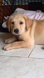 Gorgeous big chunky healthy, home reared KC Reg golden Labradors puppies for sale