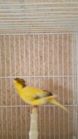 canary Spanish for sale