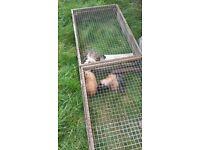 free to good home three guinea pigs