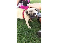"6 month old fawn full female pug. ""Lilly"". Comes with all her stuff."