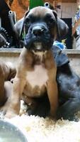 Purebred Boxer Puppies 7 weeks! - 2 Fawn males and 1 Fawn female