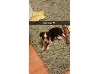 Border collie x 9 week old male for sale genuine reason 150.00