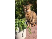 *Missing* Bengal Cat (Brown) from Kirkton of Maryculter (Recently moved from Aberdeen City)