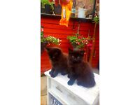2 fluffy half Norwegian Forest dark chocolate kittens