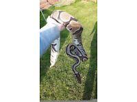 Adult Female Royal Python