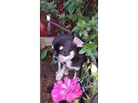 Adorable Tiny Chihuahua Puppies