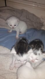 3 white kittens and 2 black and white