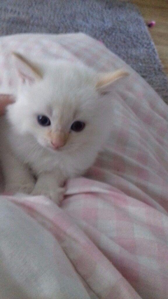 1 long haired white kitten