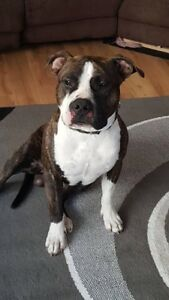 Pure 9 month Am staffy is looking for his forever home