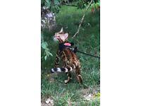 Lost Bengal Cat