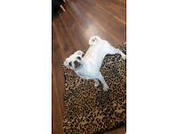 sliver/chinchilla male puppy