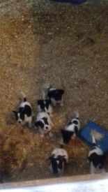 home brad Jack Russell pups