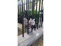 Missing tabby Cat - Putney Heath / Roehampton