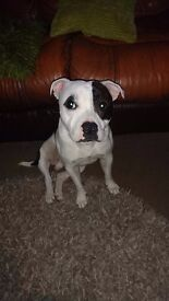 Male Staffy 2 year old.