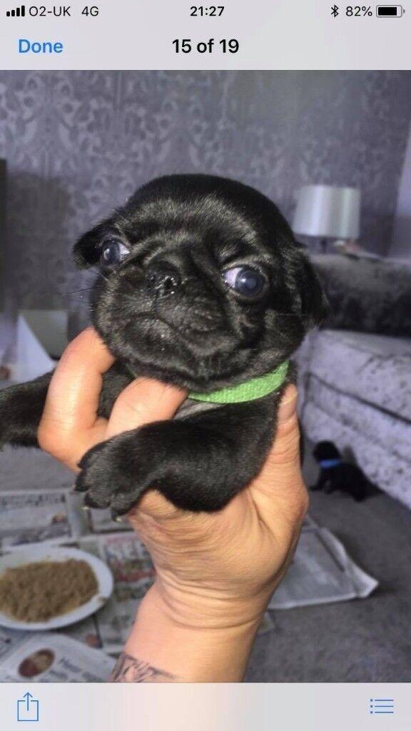 black pug puppy | in Plymouth, Devon | Gumtree