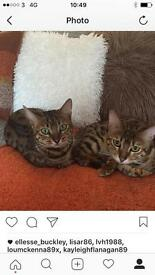 Bengal kittens cats 1 year old