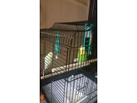 Two budgies female and male