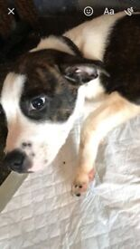 Dog for sale an American bull mastive/ staff 20 weeks old