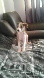 Deerhound collie grey