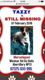 Missing male jack Russell