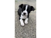 Chihuahua x Jack Russel puppies for sale.