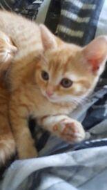 Female ginger kitten for sale