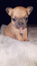 Beautiful french bulldog pups(triple/quads)
