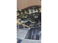 Trio of carpet pythons
